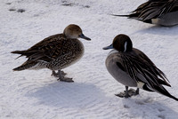 Pintail Ducks (female and male)