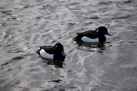 Tufted Ducks (male)