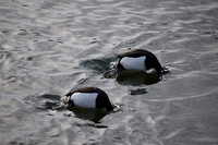 Tufted Ducks diving (male)